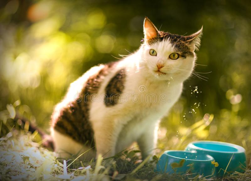 Hungry cat drink milk from blue bowl lick his lips. Hungry smiling cat drink milk from blue bowl on summer green garden background stock image