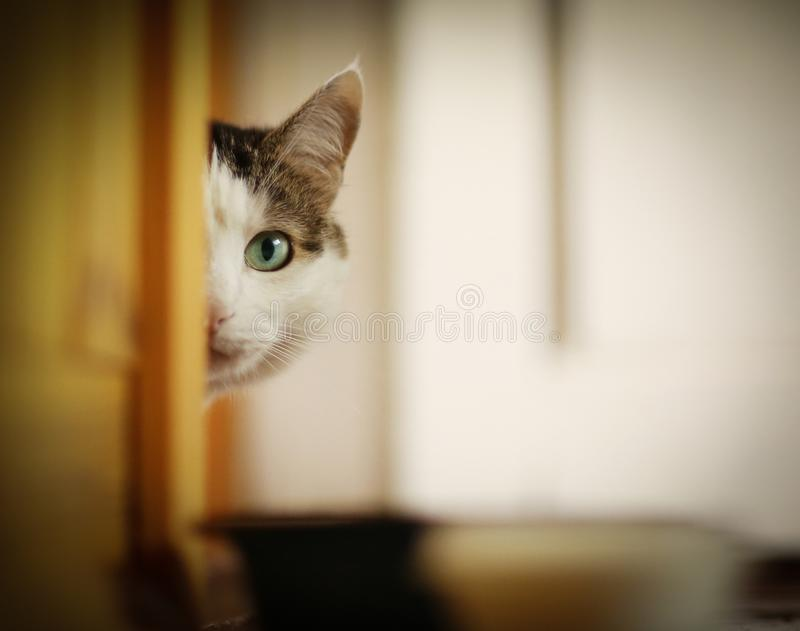 Hungry cat drink milk from blue bowl lick his lips. Hungry cat looking from the corner with copy space royalty free stock photos