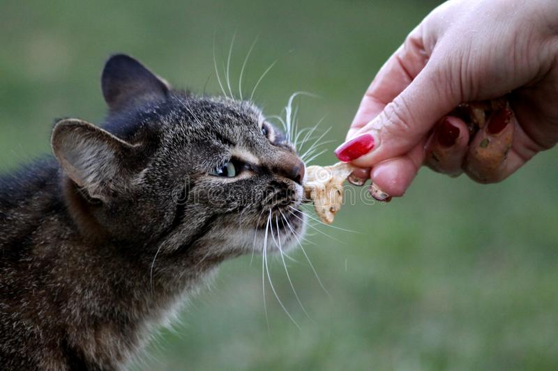 Eating Cat royalty free stock images