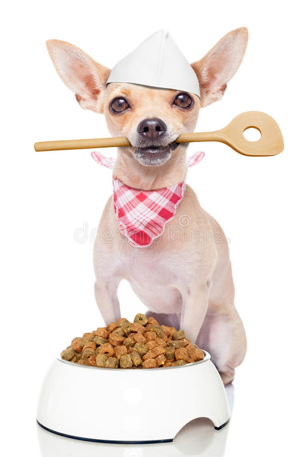 Hungry chef cook dog. Chef cook chihuahua dog with a food bowl holding a cooking spoon in mouth , isolated on white background stock photos