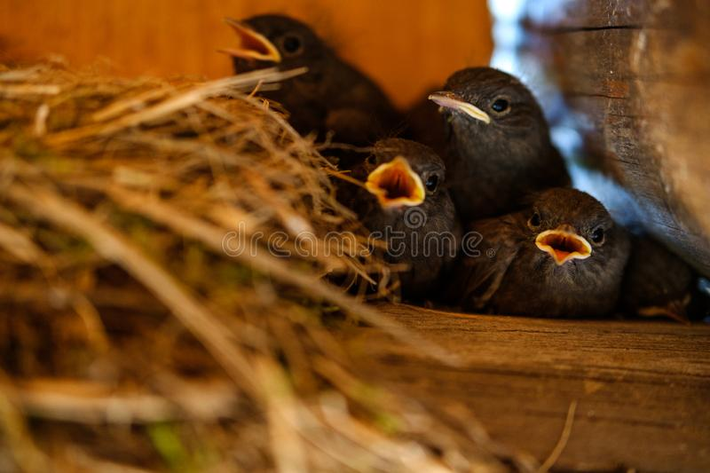 Hungry chicks open their beaks royalty free stock photo