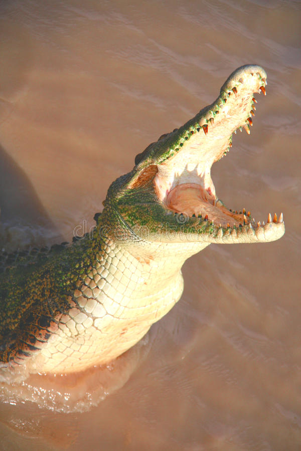 Hungry and jumping crocodile royalty free stock image