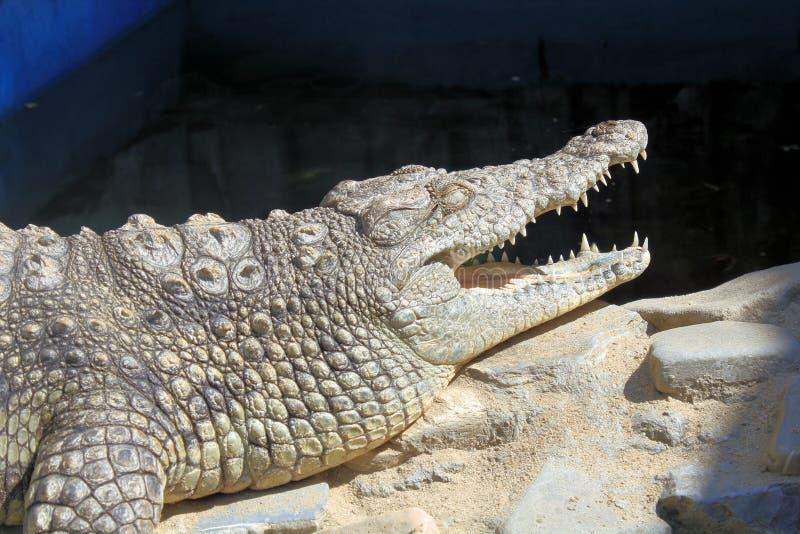 Hungry Crocodiles Stock Photos