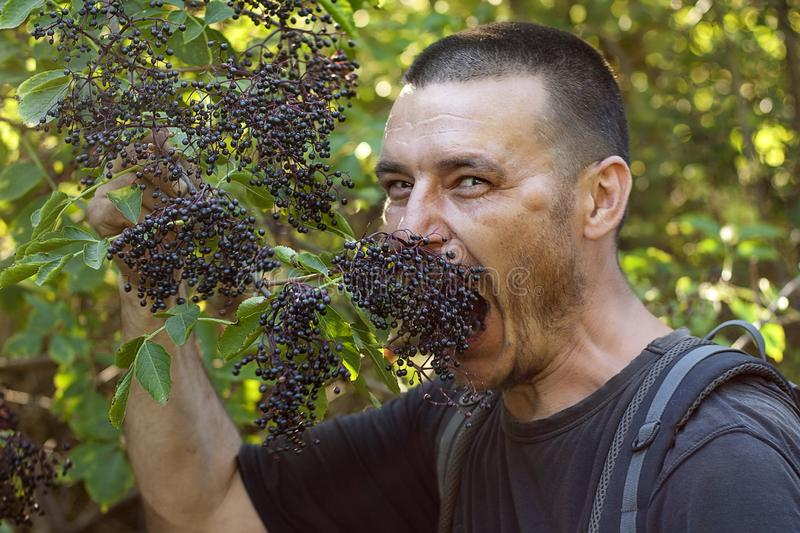 Hungry dark-haired tourist eagerly bites an elderberry on a tree against a background of green foliage stock photography