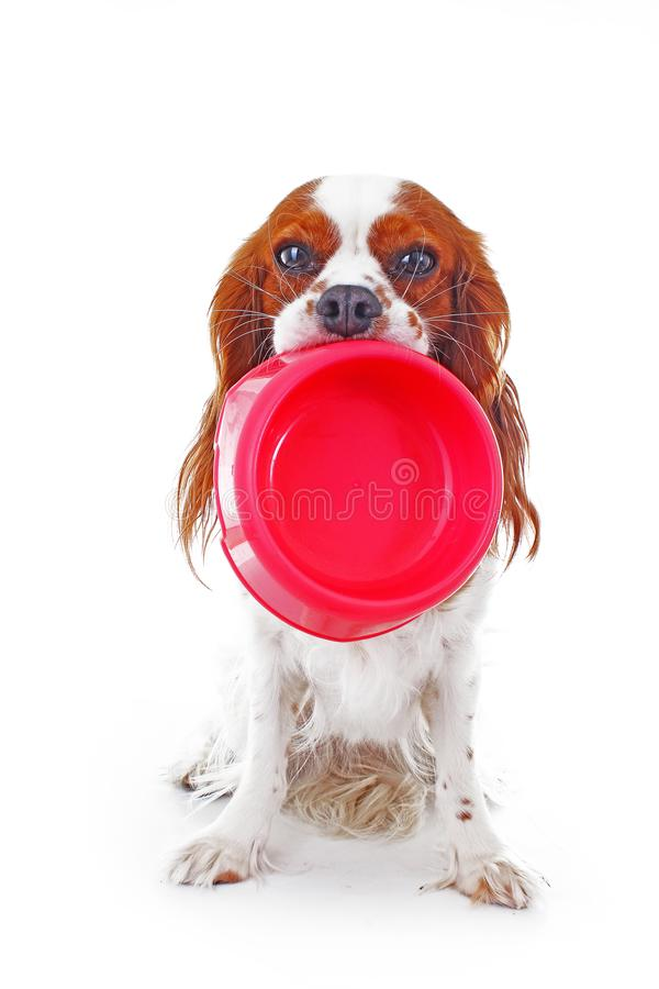 Hungry dog with bowl. Beautiful friendly cavalier king charles spaniel dog. Purebred canine trained dog puppy. Blenheim. Spaniel dog puppy photo royalty free stock photos