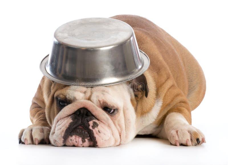 Wonderful Bulldog Canine Adorable Dog - hungry-dog-english-bulldog-laying-down-bowl-head-white-background-43950499  Image_229743  .jpg
