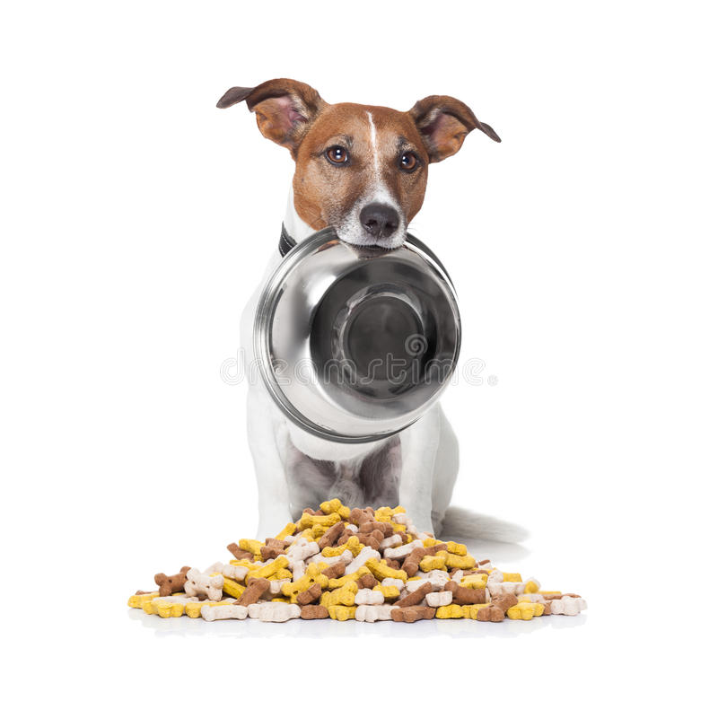 Hungry dog food bowl. Hungry jack russell dog behind a big mound or cluster of food , isolated on white background stock photography