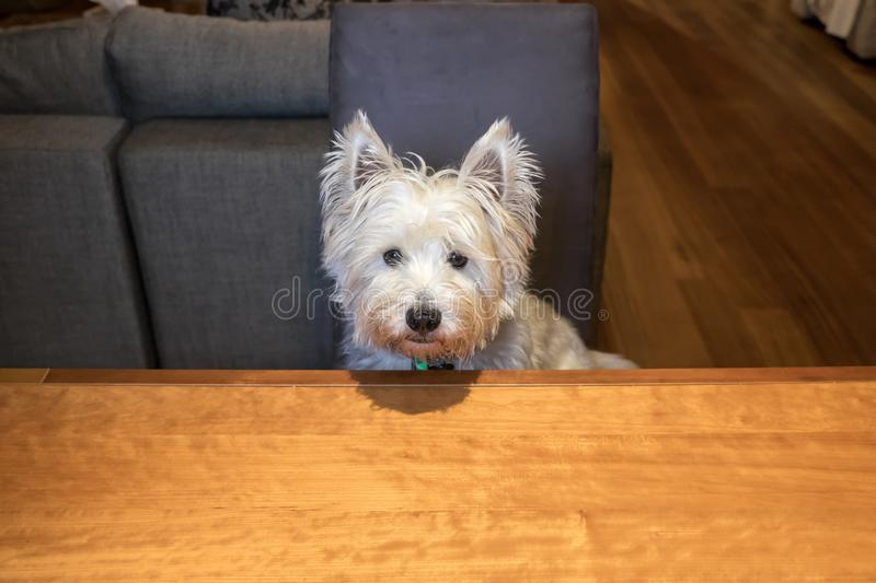 Hungry dog sitting at dining room table begging for food stock images