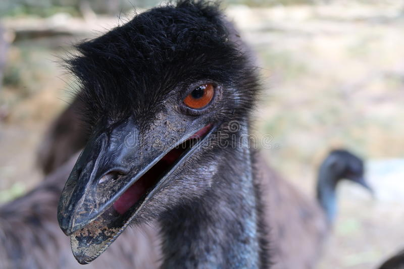 Hungry Emu royalty free stock image