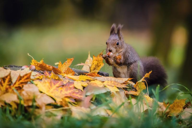 Hungry Eurasian red squirrel sitting on a tree stump. Covered with colorful leaves holding hazelnut in its paws. Autumn day in a deep forest. Blurry yellow royalty free stock photo
