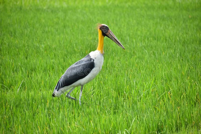 Hungry eye seeking prey & x28;the lesser adjutant& x22;stork& x22;& x29; stock photography