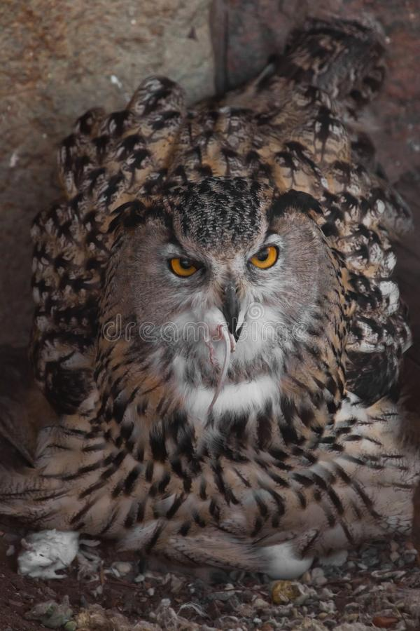 A hungry female eagle owl eagerly devours swallows, absorbs a mouse. Voracious big bird of prey and a little helpless mouse. Close-up stock images