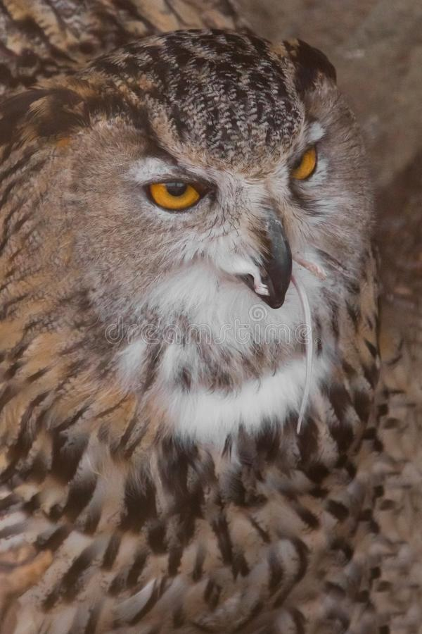 A hungry female eagle owl eagerly devours swallows, absorbs a mouse. Voracious big bird of prey and a little helpless mouse. Close-up royalty free stock photography