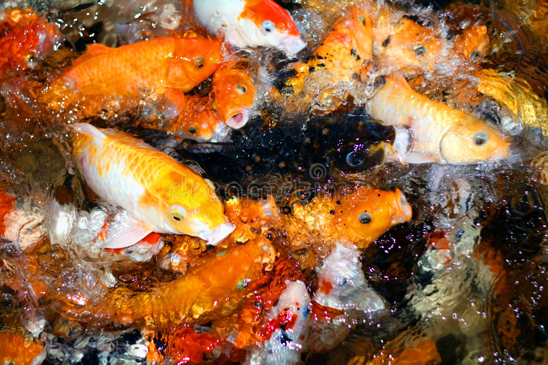 Hungry fishes stock image