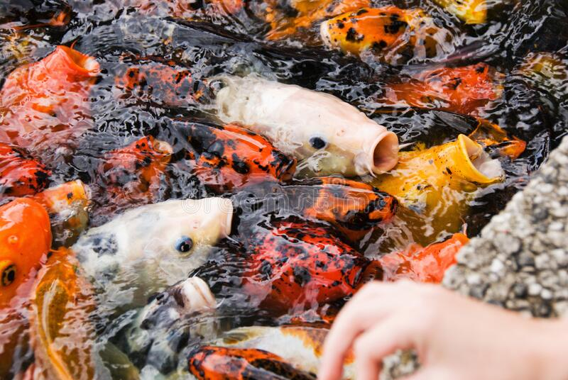 Hungry Group of Koi Fish Waiting to be Fed. Hungry group of friendly multi colored koi fish waiting to be fed. The focus is on the fish and not the human hand stock photos