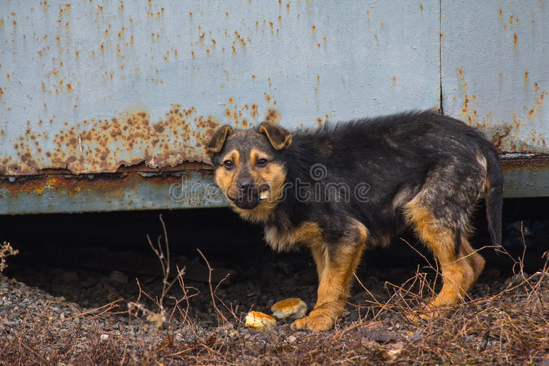 Hungry homeless puppy eagerly eats bread. Pets royalty free stock images
