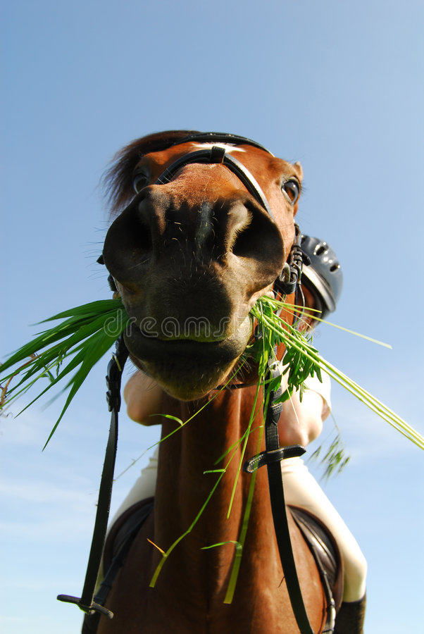 Hungry horse. Green grass hanging out of mouth of horse stock image