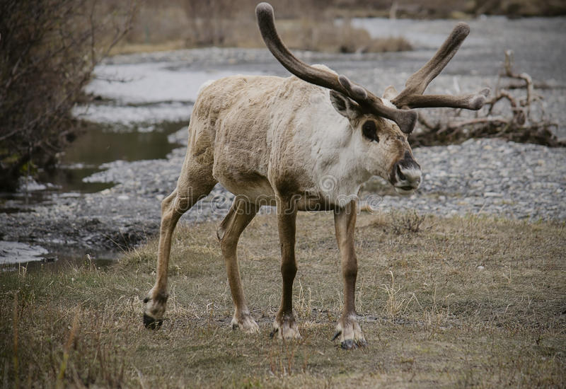 Hungry Hungry Caribou royalty free stock images