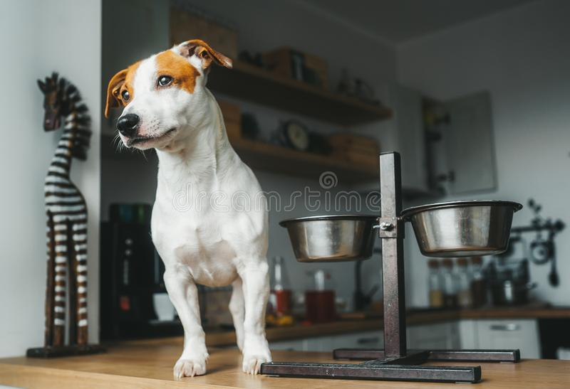 Hungry Jack Russell Terrier dog stand on the table near empty food bowl and asks for food royalty free stock photo