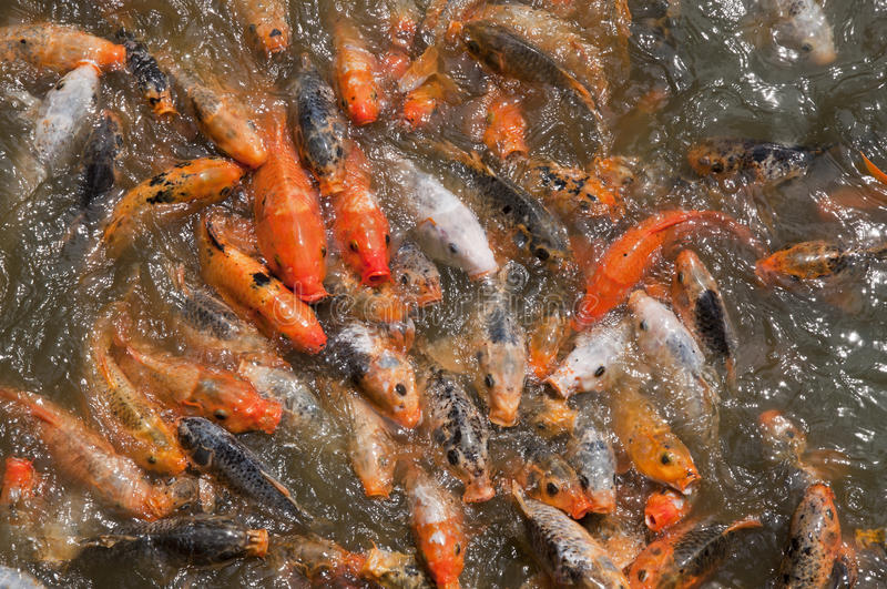 Hungry Koi. The ponds in front of the Citadel in Hue, Vietnam, are filled with hungry koi. A vendor sold pellets of fish food at the bridge, and the fish would royalty free stock image