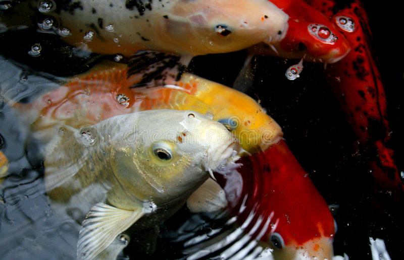 Hungry koi. A school of hungry koi fish at a local resort royalty free stock photo