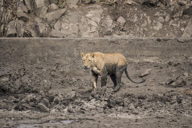 Hungry Lioness walking across charcoal muddy dried up waterhole. Legs and tail covered in mud as if having a mud bath. Kruger National park, South Africa royalty free stock photography