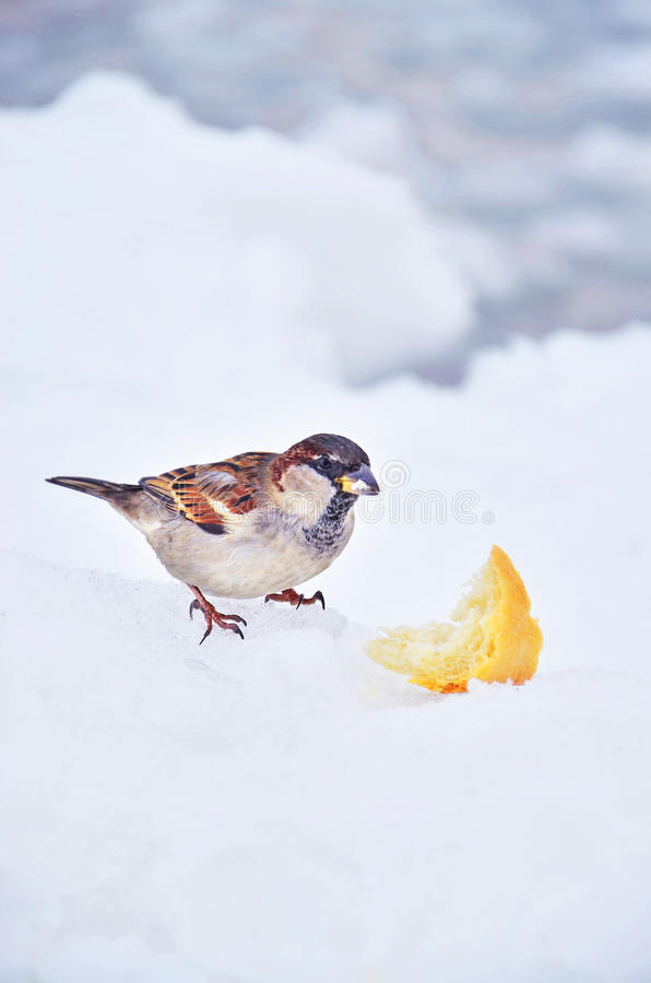 Hungry little sparrow eats bread stock image