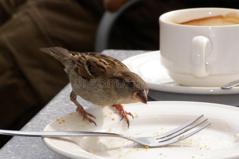 Hungry little sparrow royalty free stock photos
