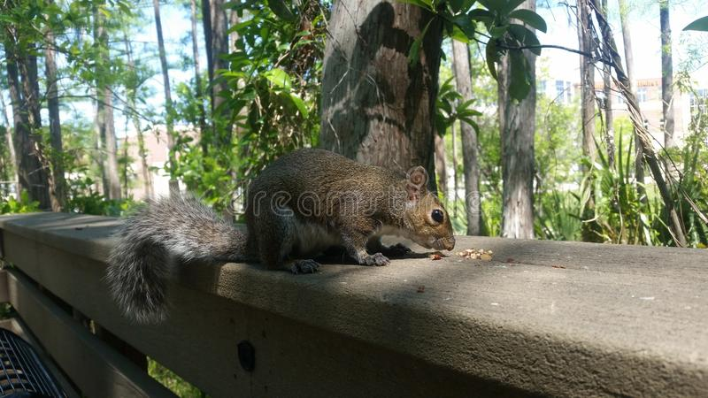Hungry Majestic Squirrel stock photo