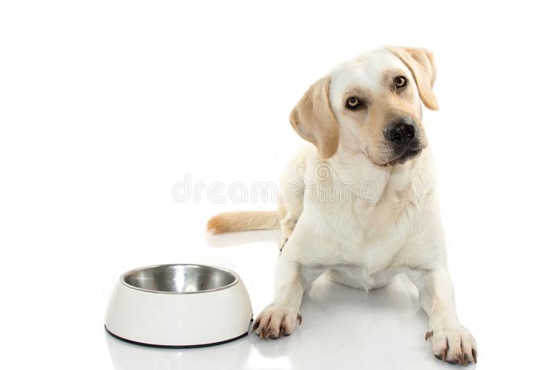 HUNGRY MIXEDBRED OF MASTIFF AND LABRADOR RETREIVER EATING FOOD I stock image