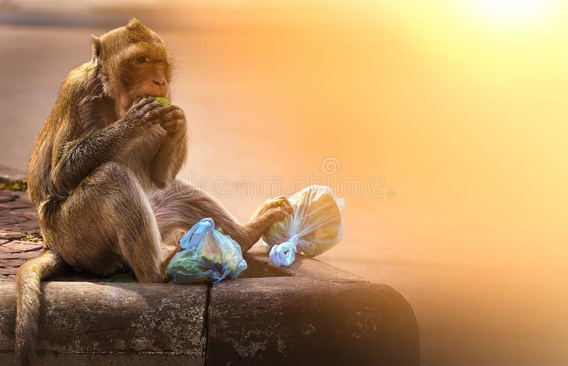 The hungry monkey is holding a plastic bag eating fruits on the road. Human-animal interaction. Pollution and environment problem royalty free stock photo