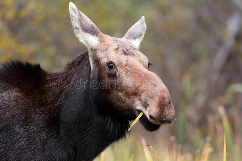 Download Hungry Moose stock photo. Image of female, looking, animals - 16509826