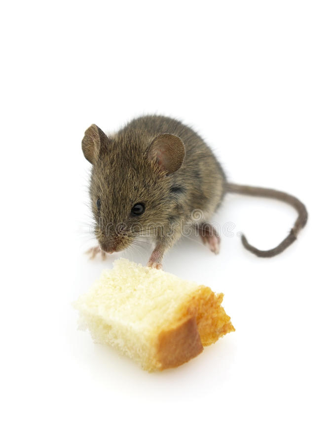 Download Hungry mouse stock photo. Image of fear, mammal, mouse - 13795064