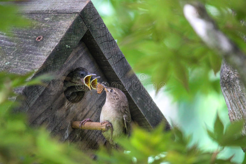 Hungry Mouths to Feed - Baby Birds in Birdhouse royalty free stock photo