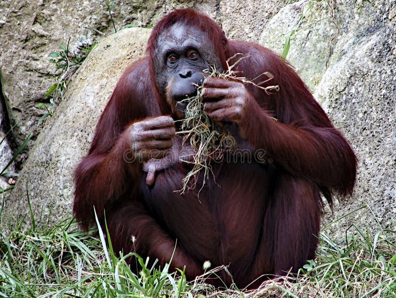 Hungry orangutan royalty free stock photo