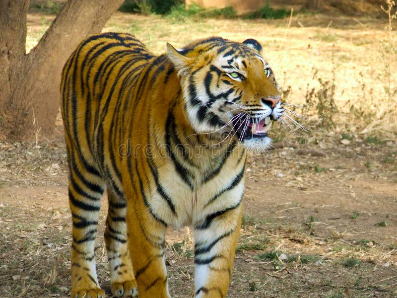 Download Hungry panting tiger stock image. Image of carnivore, eater - 8662059