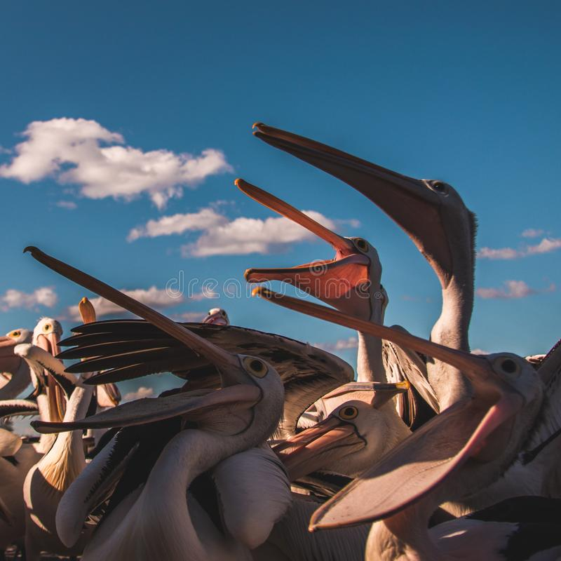 Hungry pelicans at feeding time in the sunlight royalty free stock photos