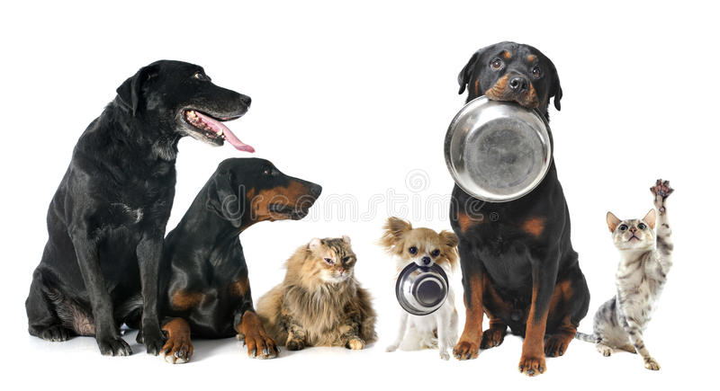 Hungry pets. In front of a white background royalty free stock image