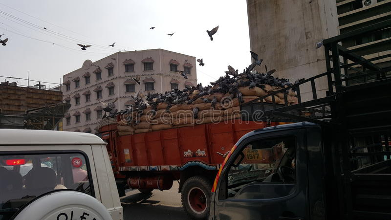 Hungry pigeons having lunch on moving truck stock photography