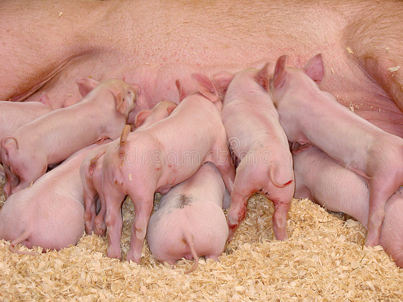 Hungry Piglets stock photos