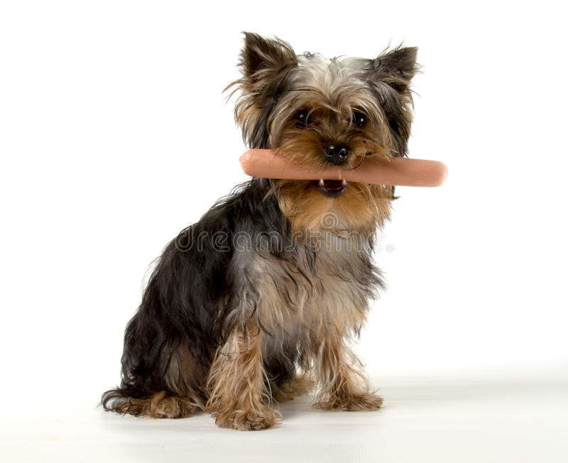 Hungry puppy royalty free stock image