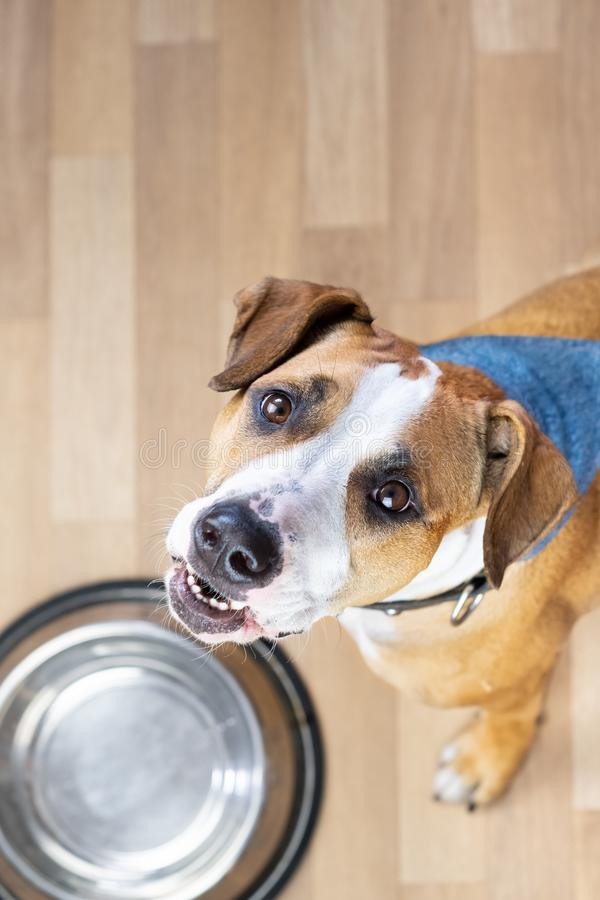 Hungry puppy sits on the floor near empty food bowl and asks fo royalty free stock images