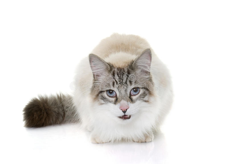 Hungry ragdoll cat royalty free stock image