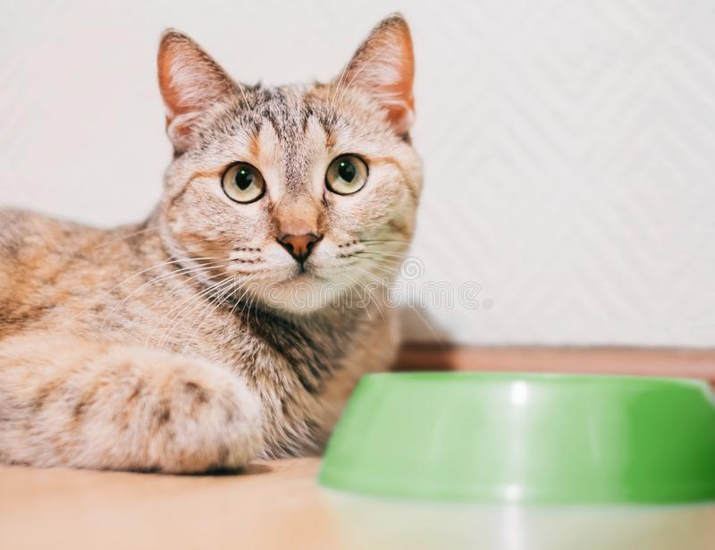 Hungry red cat lying near an empty bowl. Hungry domestic red cat lying near an empty bowl and asks for food stock image