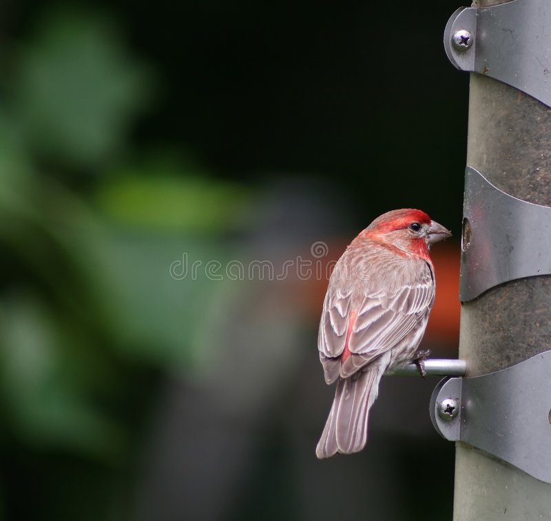 Hungry red headed finch royalty free stock photo