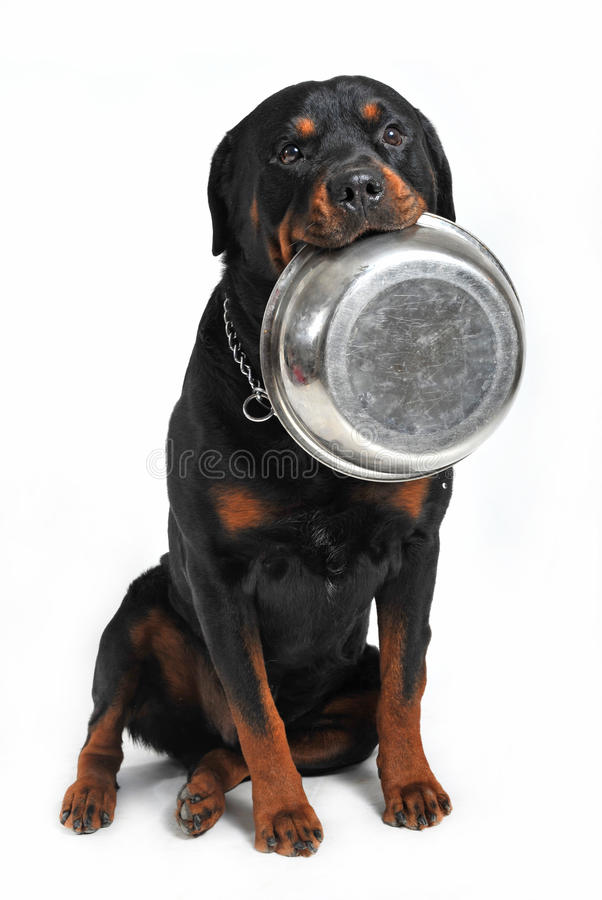 Hungry rottweiler