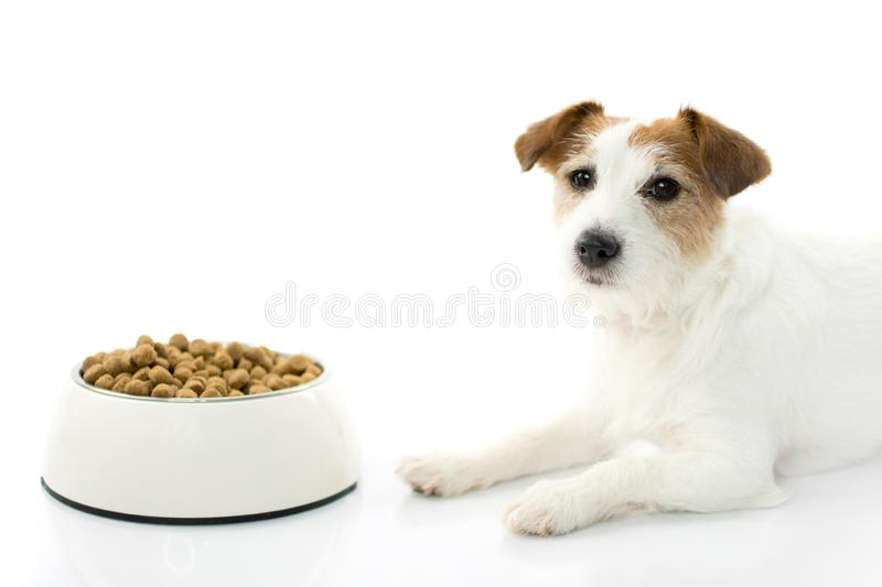 HUNGRY AND SAD JACK RUSSELL DOG EATING FOOD IN A BOWL ISOLATED. ON WHITE BACKGROUND. STUDIO SHOT. COPY SPACE stock image