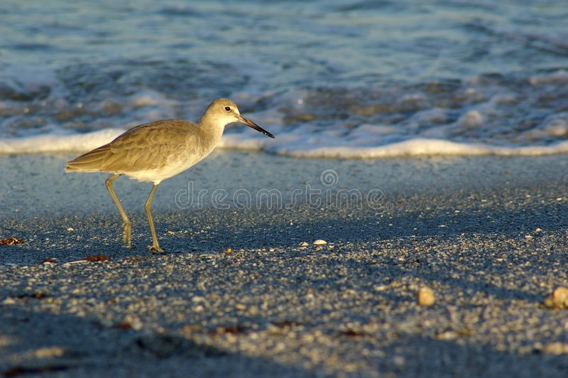 Hungry Sandpiper stock photography
