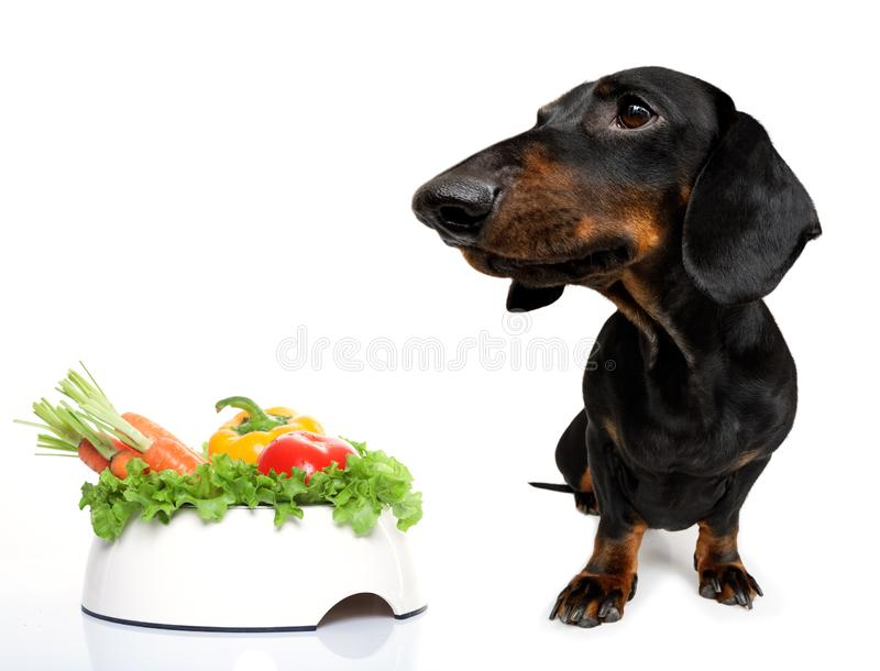 Hungry sausage dachshund dog stock photography