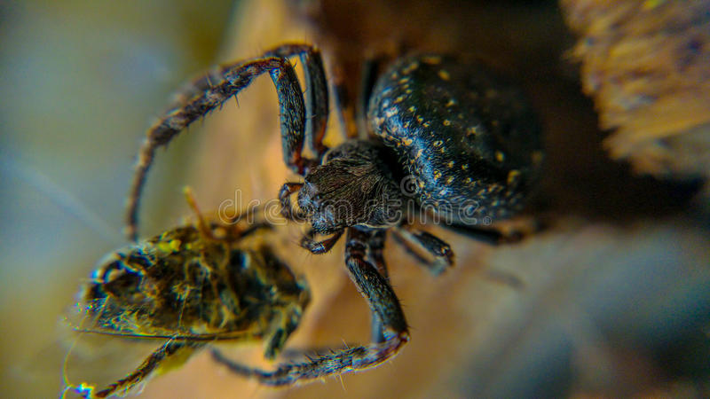 Hungry spider eating bug for lunch royalty free stock photo